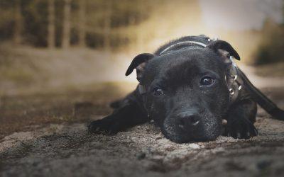 Staffordshire Bull Terrier som familiehund